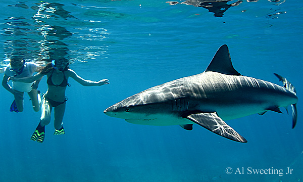 Swim with sharks, and other sea creatures, in the Bahamian reefs.